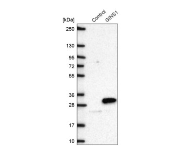 Anti-GINS1 Antibody