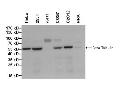 beta Tubulin Loading Control Monoclonal Antibody (BT7R), Biotin