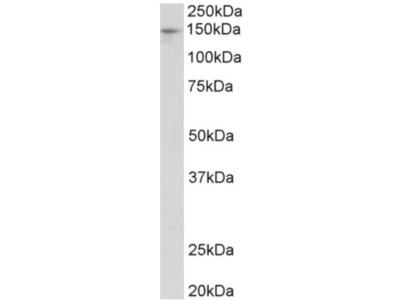 Pex1 goat polyclonal antibody, Aff - Purified