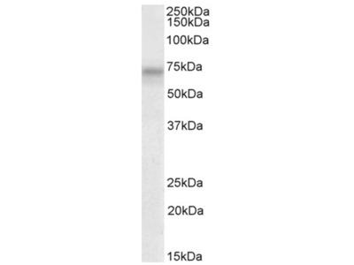 anti PLK3 (320-333)