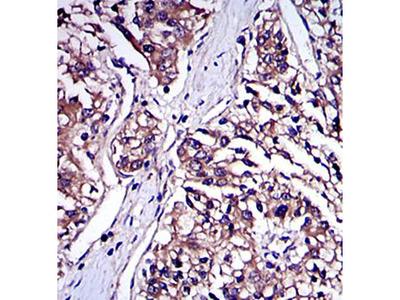 IRAK4 antibody