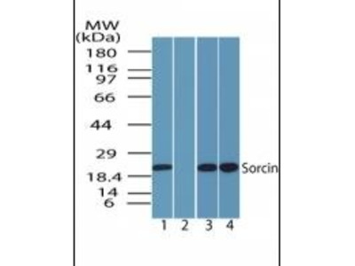 SRI antibody
