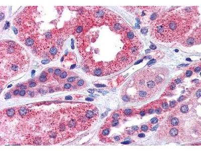 CD316 antibody