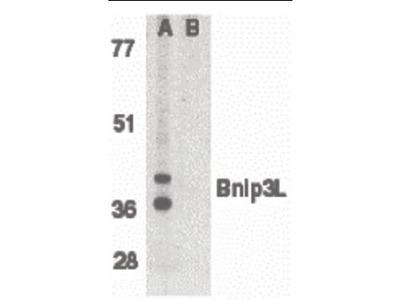 NIX antibody