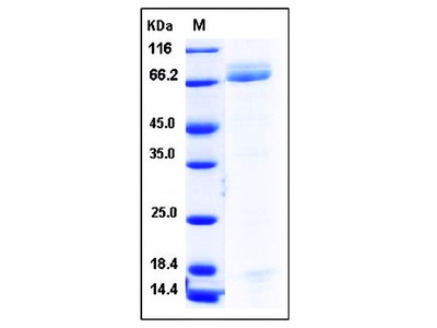 Human PGA4 Fc tag protein