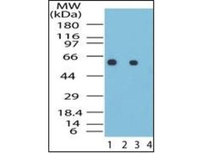 GROEL antibody
