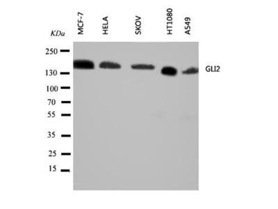 GLI2 antibody