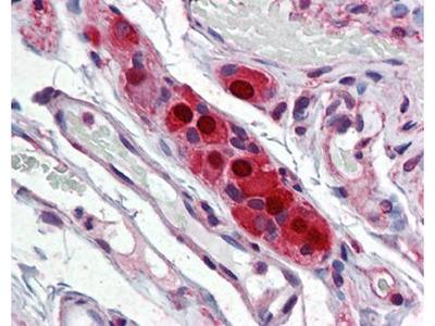 ELAVL4 antibody