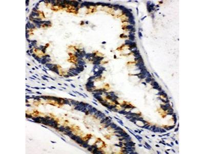 KLK6 antibody