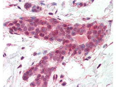 BRAP2 antibody