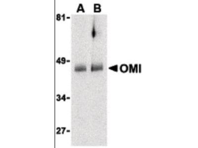 HTRA2 antibody