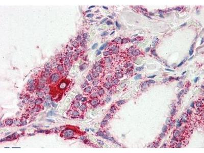 COXIV antibody
