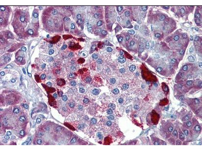 LRRN4 antibody