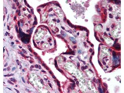 CMaf antibody