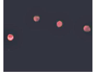 PLAC1 antibody