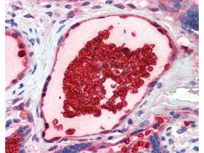 CD235a antibody
