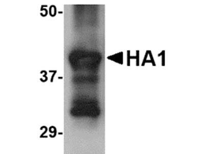 Hemagglutinin antibody