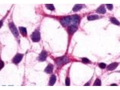 GRM3 antibody