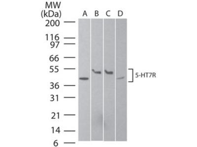 Serotonin Receptor 7 Antibody