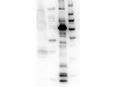 Eg5 Antibody