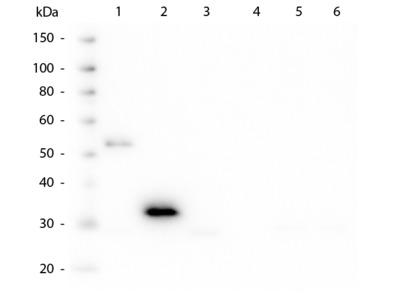 Human IgG F(c) Antibody
