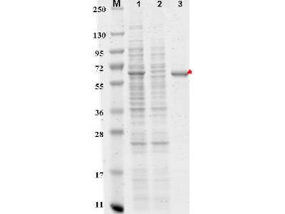DYKDDDDK (FLAG®) Peptide