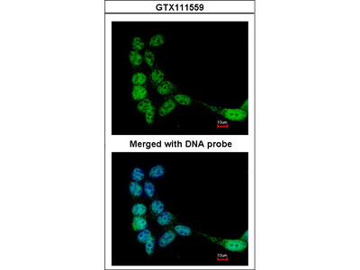 LRGUK Polyclonal Antibody