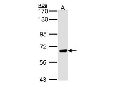 PPEF / PPEF1 Antibody