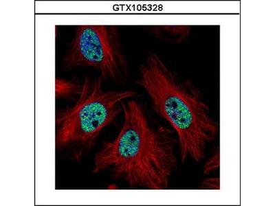 CMAS Antibody