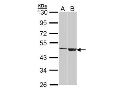 CST / GAL3ST1 Antibody