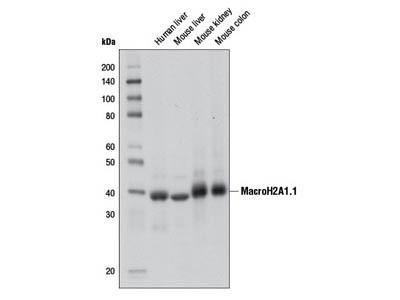 MacroH2A1.1 (D5F6N) Rabbit mAb