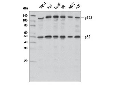 Western Blot Antibody for p50 From Cell Signaling