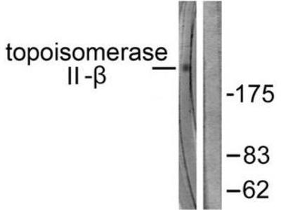 Rabbit polyclonal Topoisomerase II beta antibody