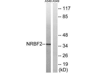 Rabbit polyclonal anti-NRBF2 antibody