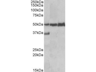 Goat Anti-LSP1 Antibody