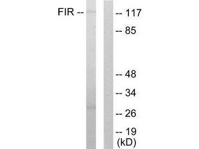 Rabbit polyclonal anti-FARP2 / FIR antibody