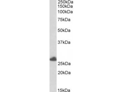 Goat Anti-RNF35 / TRIM40 Antibody