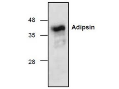 Rabbit polyclonal anti-CFD (Adipsin) antibody