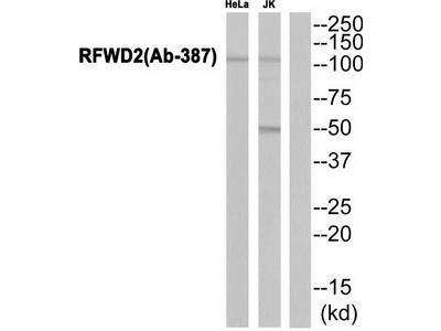 Rabbit polyclonal RFWD2 (Ab-387) antibody