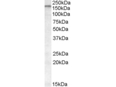 Goat Anti-ABCA9 Antibody