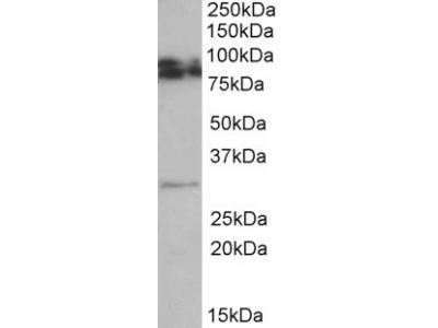 Goat Anti-GPM6A Antibody