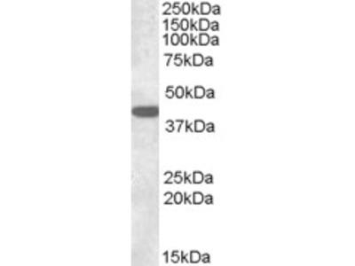 Goat Anti-Connexin 43 / GJA1 Antibody