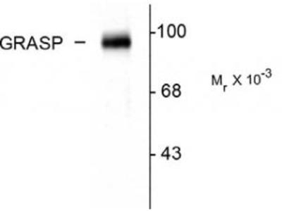 Rabbit Anti-GRASP Antibody