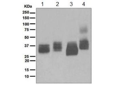 Rabbit Monoclonal antibody against CD317 / BST2