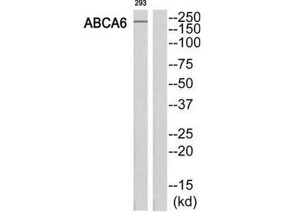 Rabbit polyclonal anti-ABCA6 antibody