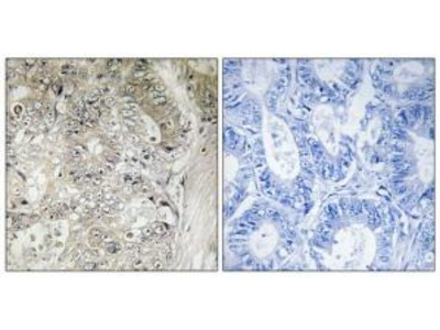 Rabbit polyclonal anti-CST1 antibody
