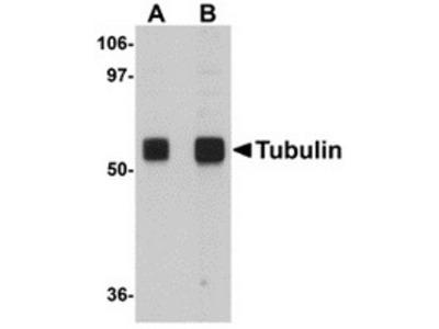 Chicken polyclonal anti-TUBA1A(alpha Tubulin) antibody, Loading control