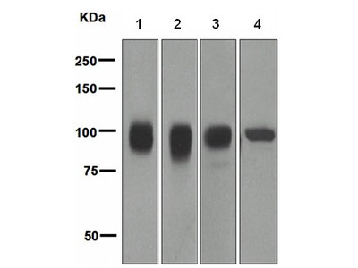 Rabbit monoclonal antibody against ALCAM/CD166(clone EPR2759(2))