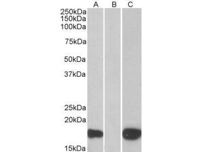 Goat Anti-PHLDA3 / TIH1 Antibody