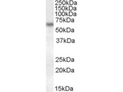 Goat Anti-Granulin / GRN Antibody